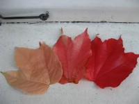 Autumn leaves on our window sill